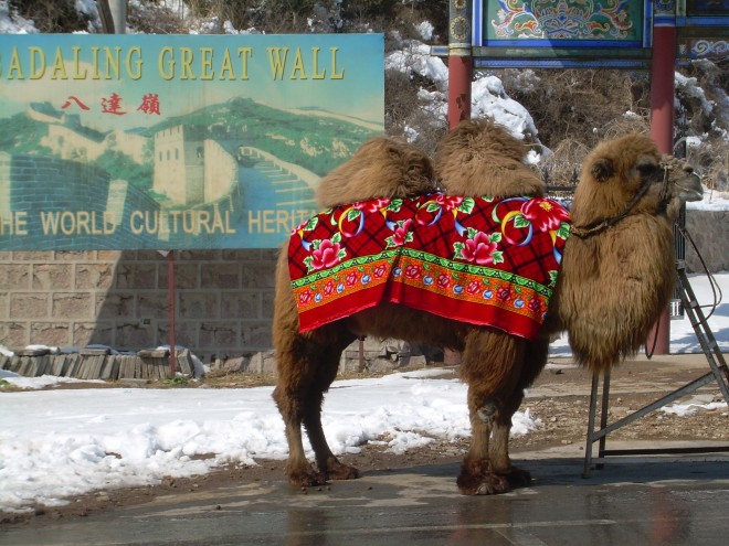 Camel at the Great Wall